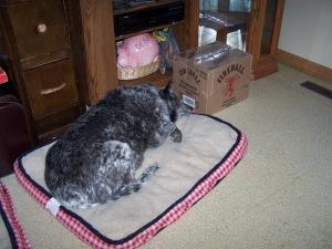 Mollie, Australian Cattle Dog, Queensland, age 13